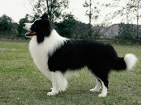 Border collie smart dog breed